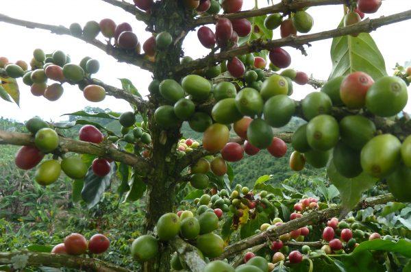 Kolumbiens Kaffee